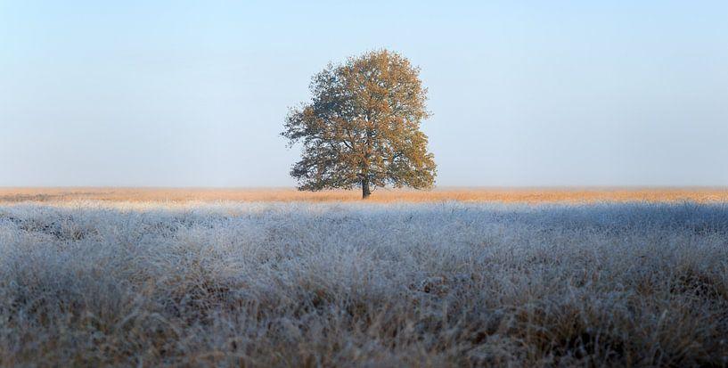 Big tree in a heather field, morning with frost van Luis Fernando Valdés Villarreal Boullosa