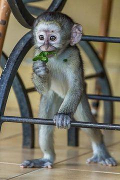 Baby aapje in Skukuza van Marijke Arends-Meiring