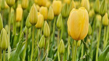 Nahaufnahme einer gelben Tulpe im Frühling von eric van der eijk