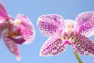 Orchidee von Jaap de Wit