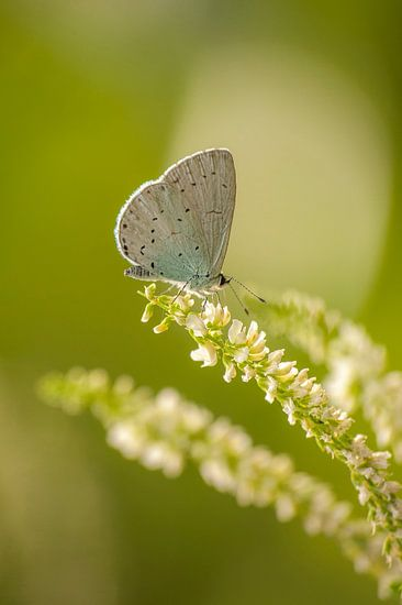 Boomblauwtje (Celastrina argiolus) van Margreet Frowijn