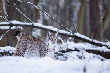 Lynx 1 sur Etienne BRUNELLE