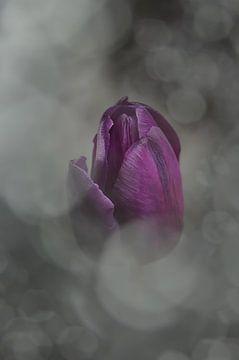 Tulpe von zwergl 0611