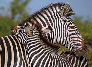 Loving Zebras - Africa wildlife sur W. Woyke