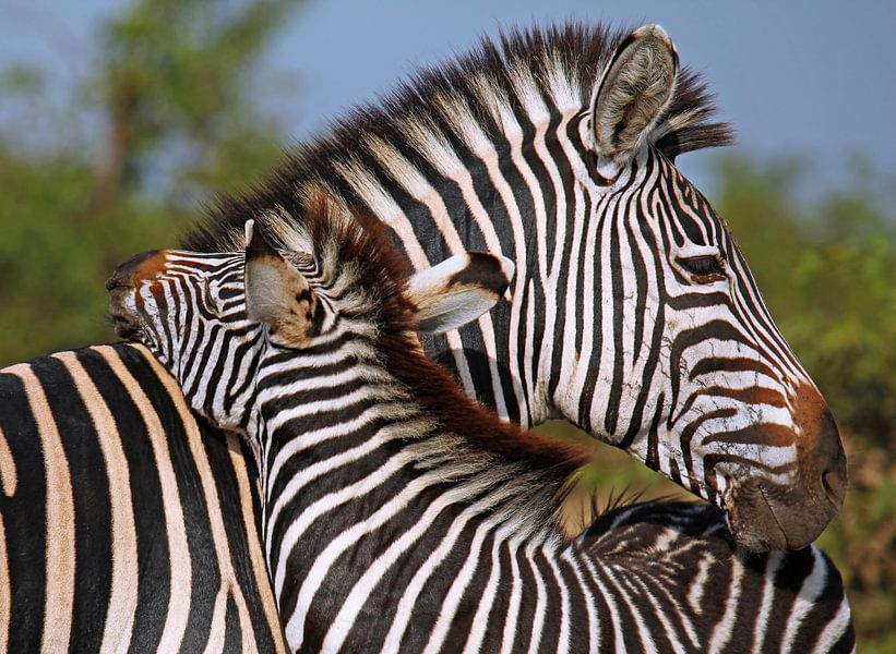 Loving Zebras - Africa wildlife