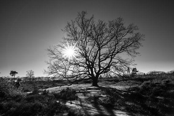 Boom met tegenlicht op de Veluwse heide in Nederland, fotoprint