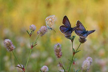 icarusblauwtjes van