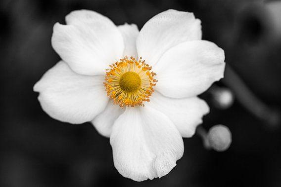 the white anemone