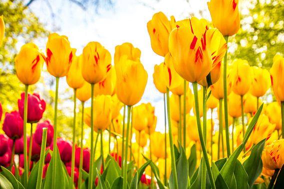 Fleurig tulpenveld