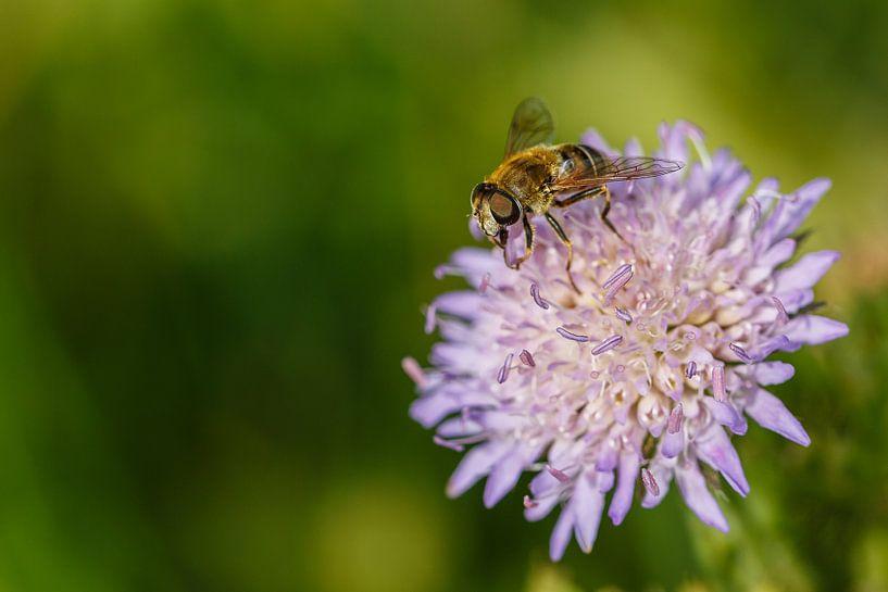 Zweefvlieg op paarse bloem van Joop Gerretse