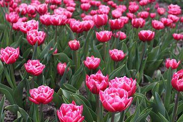Roze tulpen van Studio Ladine