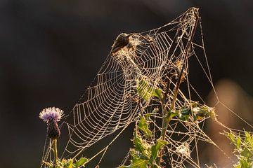 Spinnennetz mit Tau bei aufgehender Sonne von Photo Henk van Dijk