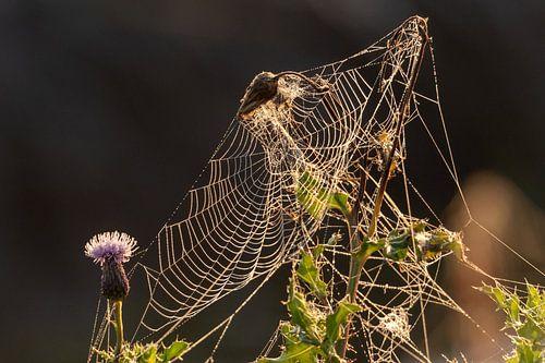 Spinnenweb met dauw in opkomend zonlicht