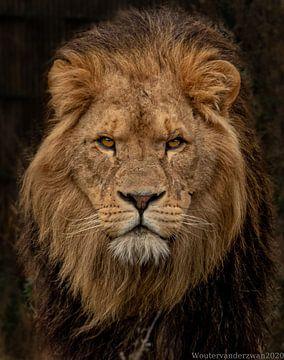 Löwe von Wouter Van der Zwan