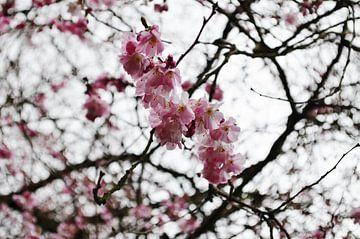 Roze bloesem van Yrla Lucassen