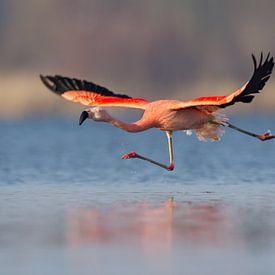 Chileense flamingo van Aldert Verboom