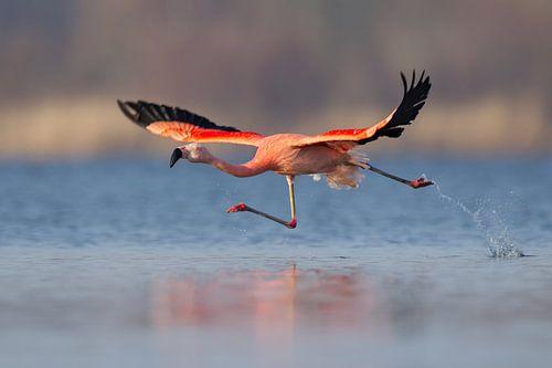 Chileense flamingo van