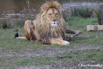 Leeuw Koning der Dieren von Koos Koosman