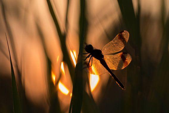 Bandheidelibel bij zonsondergang