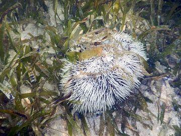 Zee-egel in het Zeegras. van Silvia Weenink
