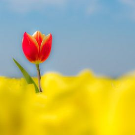 Bijzondere rode tulp alone in geel tulpenveld van Moetwil en van Dijk - Fotografie