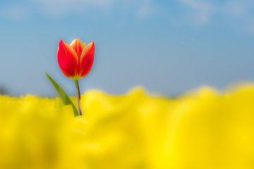 Bijzondere rode tulp alone in geel tulpenveld