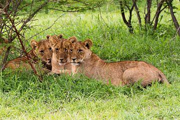 Drei Löwenbrüder im Gras von Britta Kärcher