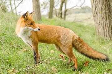 Fox schaut hinter ihn von Ans Bastiaanssen