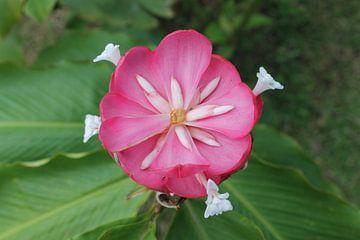 Roze bloem von Martin van den Berg Mandy Steehouwer