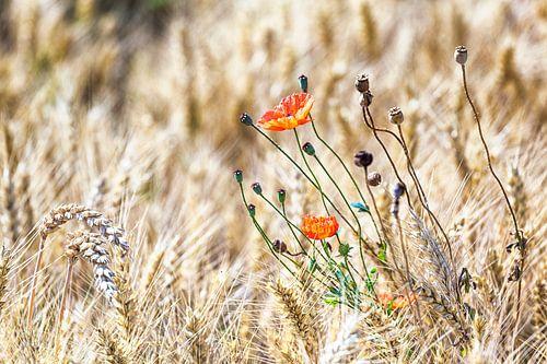 Wilder Mohn im Getreidefeld von Evert Jan Luchies