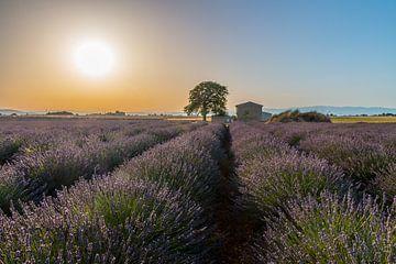 Lavendelveld Zuid Frankrijk van