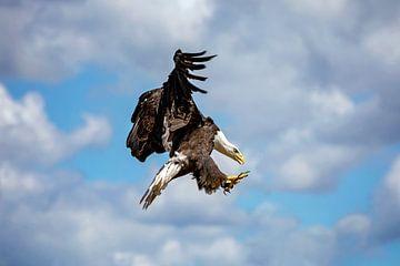 Amerikanische Seeadler-Jagd von gea strucks