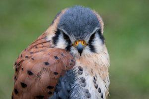 roofvogel van Marjan Noteboom
