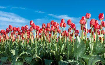 Rode Tulpen 001 van Alex Hiemstra