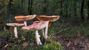 groupe de champignons de la mouche agarique