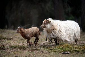 Schaf mit ihrem Lämmchen