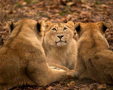Lionceau au centre sur Patrick van Bakkum