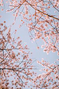 Roze kersenbloesem (sakura) met een blauwe lucht van Maartje Hensen
