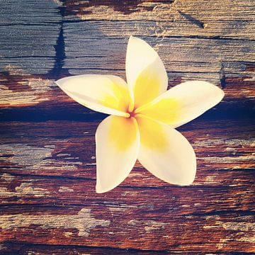 Bloem van een frangipani op verweerd hout in Mauritius van Susanne Pieren-Canisius