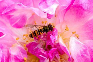 Wespe auf einer rosa Blume von W J Kok