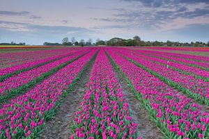 Typisch Nederlands - Tulpen van