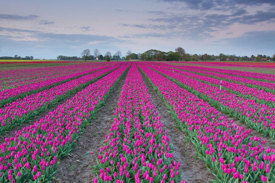 Typisch Nederlands - Tulpen van Niels Heinis
