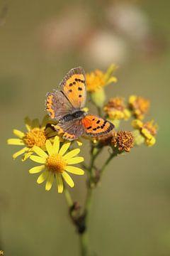Oranger Schmetterling auf gelben Blüten von Eline Lohman