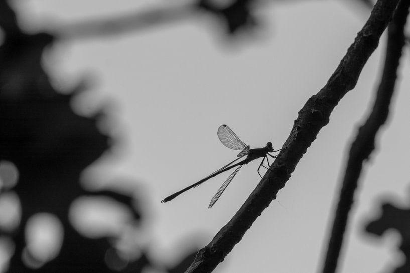 Libelle von Anjo ten Kate