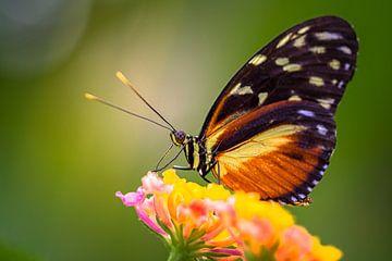 De  Hecale Longwing  vlinder van Ralf Linckens