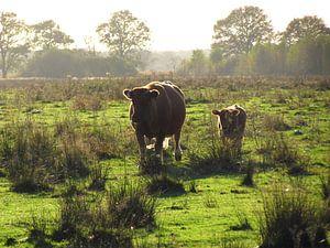 Wilde koe met kalf