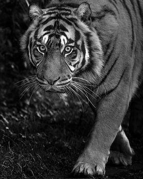Le tigre vous surprend en douce sur Patrick van Bakkum