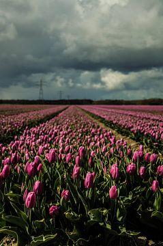 Tulpen in het veld van Robert Snoek