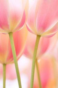 Hollandse tulpen (abstract) van Cocky Anderson