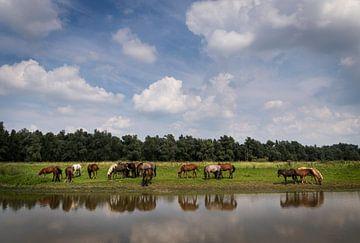 Paarden op de Groesplaat van